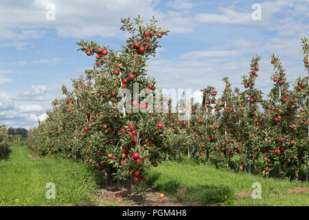 Apple Orchard, Altes Land (antiguo país), Baja Sajonia, Alemania