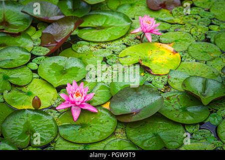 Rosa Flores de nenúfares en flor en Plum Orchard Lake en West Virginia.
