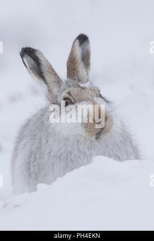 La liebre de montaña (Lepus timidus). Adulto en abrigo blanco (pelaje) en la nieve. El Parque Nacional de Cairngorms, Escocia