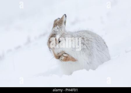 La liebre de montaña (Lepus timidus). Adulto en abrigo blanco (pelaje) en la nieve, asearse. El Parque Nacional de Cairngorms, Escocia