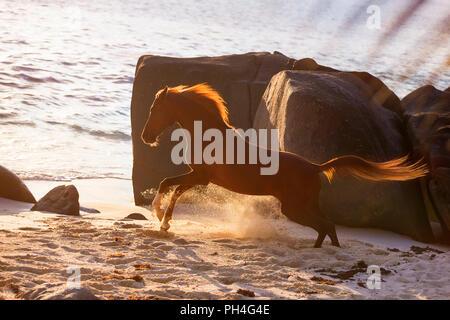 Arabian Horse. Castrado Castaño al galope en una playa al atardecer. Seychelles Foto de stock