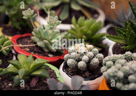 Muchas pequeñas macetas con plantas suculentas y cactus en casa. Varias pequeñas plantas de interior en macetas de fondo verde. Lindo jardín interior cerca borrosa Foto de stock