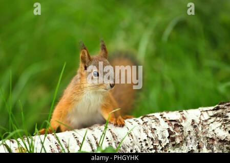 Cerca de una curiosa ardilla roja (Sciurus vulgaris) en la hierba por un registro de abedul.