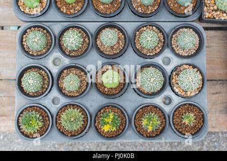 Suculentas en la mesa de madera. Los cactus crecen en macetas aparece en una tienda cale para vender en el mercado de plantas de Chatuchak, Bangkok Foto de stock