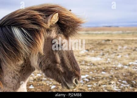 Retrato del caballo islandés