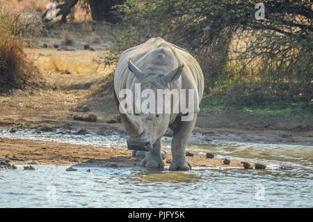 Un lindo macho bull White Rhino o rinoceronte bebiendo agua de una represa en el Parque Kruger Safari