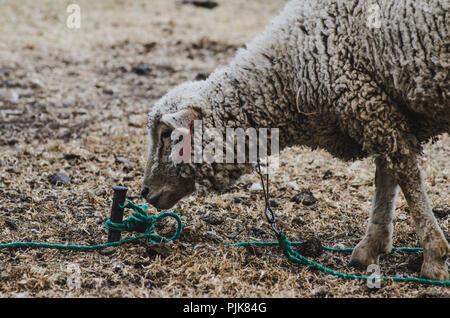 Cara de una oveja lazos con un palo en una granja
