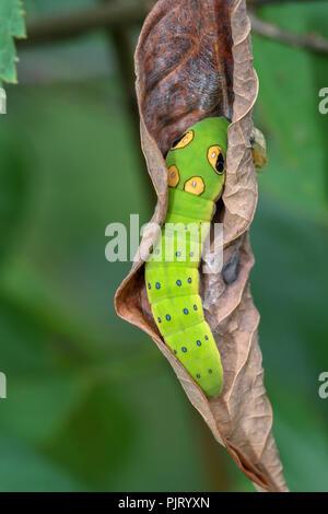 Caterpillar spicebush Spicebush especie de hoja Foto de stock