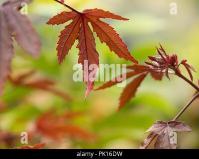 Hojas de arce japonés de color cambia a rojo en otoño, sobre fondo verde natural