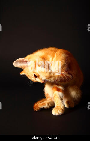 Jengibre mackerel tabby12 semana vieja gatito aislado en un fondo negro
