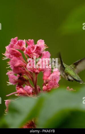 Ruby-throated hummingbird :: Archilochus colubris Foto de stock