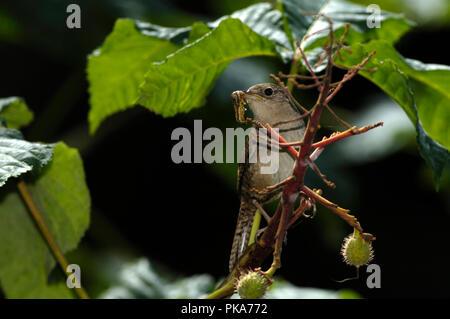 House Wren Troglodytes aedon :: Foto de stock