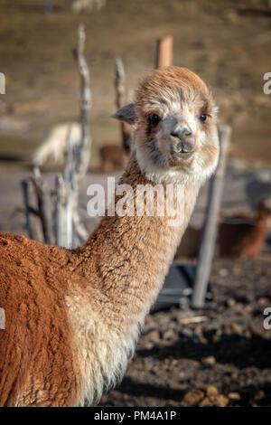 Rojo retrato de alpaca en Bolivia