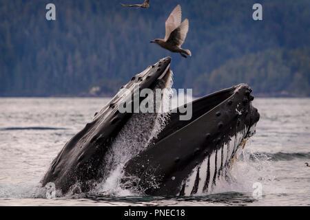 Ballena Jorobada lunge alimentándose de un tranquilo día de otoño en el archipiélago Broughton, Great Bear Rainforest, Territorio de las Primeras Naciones, British Columbia, Canadá