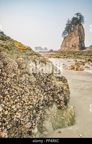 Mejillones y percebes en las rocas, Quileute agujas en dist, Segunda Playa, parte de la playa de inserción, Pacific coast, Olympic Nat Park, estado de Washington, EE.UU.