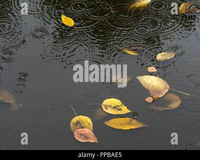 Hojas amarillas flotando en el charco sucio en la carretera en otoño de lluvia