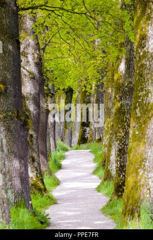 Callejón arbolada con encinas y sendero en Baviera cerca de Murnau