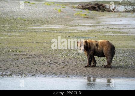 Costera de Alaska Brown Bear (grizzly), paseos por la playa en el Parque Nacional Katmai