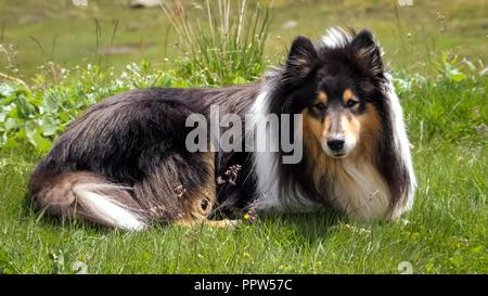 Mirando un escocés (o Scotch, Rough Collie) acostado en verdes campos de Suiza. La Scotch Collie es una raza de perro de razas criollas de las Highlands escocesas.