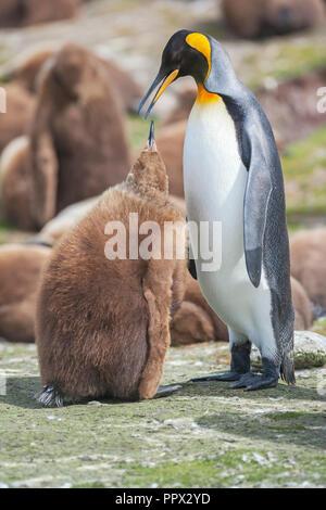 Pingüino Rey (Aptenodytes patagonicus) que alimentan su chick, East Falkland, Islas Malvinas, en el Atlántico Sur, en América del Sur