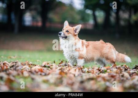 6 mes de edad Welsh Corgi Pembroke en otoño