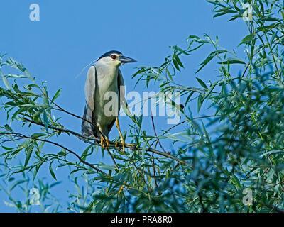 Negro-noche coronado heron encaramado en el árbol
