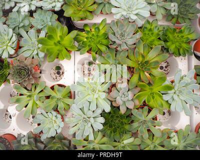 Diferente pequeño púrpura y verde echeveria plantas suculentas (Crassulaceae) alineados uno junto al otro en una bandeja de carga blanco