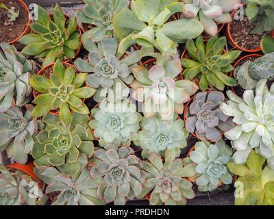 Diferente pequeño púrpura y verde echeveria plantas suculentas (Crassulaceae) alineados uno junto al otro