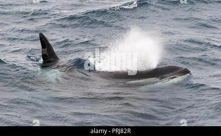 Macho adulto de orca soplando como superficies, Canal Beagle, Chile