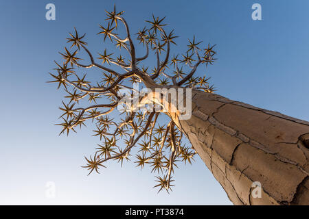 En el carcaj carcaj árbol bosque árbol / Giant's Playground cerca de Keetmanshoop, Sur de Namibia