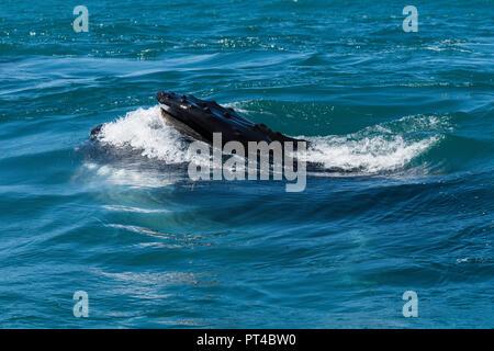 Las ballenas jorobadas alimentándose de krill cerca Langebaan, Sudáfrica.