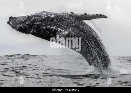 Ballena humpback, Langebaan, Sudáfrica.