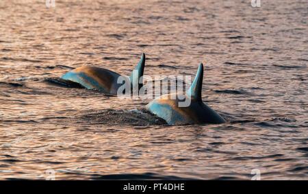 Orcas alimentándose de arenque, en el norte de Noruega.