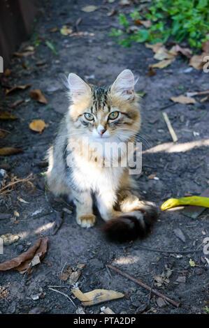 Precioso gatito en el fondo de la naturaleza, mirando cuidadosamente. Gato doméstico.