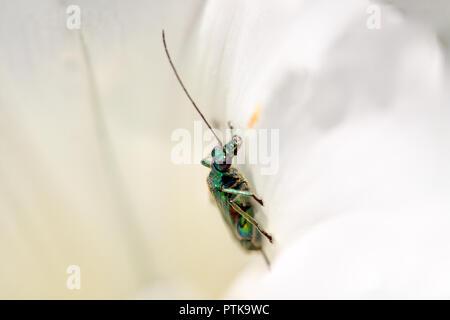 Macro de un insecto metálico verde dentro de una flor de una pradera portugués