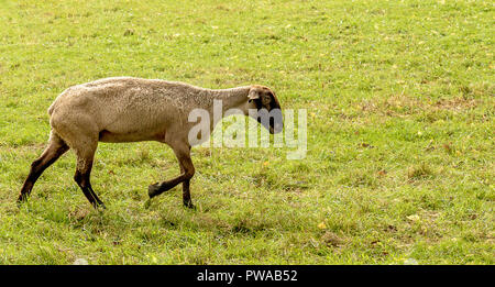 Suffolk ovejas para un paseo.