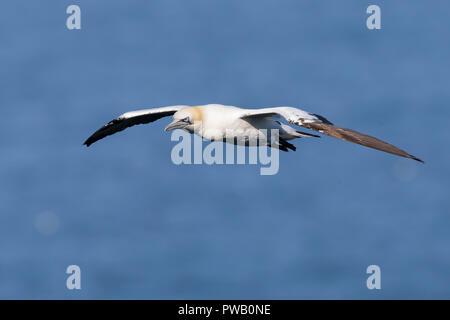 Aves marinas ganadas del Reino Unido (Morus bassanus) aisladas en vuelo al aire libre, elevándose sobre el agua, Bempton Cliffs. Gannet de vuelo del norte; alas esparcidas. Foto de stock