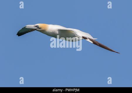 Vista lateral de cerca de aves marinas gannet del norte del Reino Unido (Morus bassanus) aisladas en vuelo en pleno aire, volando alto en cielo azul claro de verano. Aves marinas ganneras del Reino Unido. Foto de stock