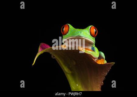 La rana arborícola de ojos rojos (Agalychnis callidryas)