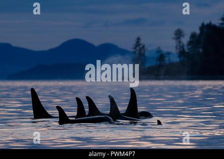 Residente del norte orcas (Orcinus orca) A24's y A36's en una estrecha línea de descanso alrededor de la cabeza de Donegal, al oeste de la Isla de Vancouver Blackfish Sonido desactivado