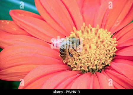 Cerca de una abeja de miel occidental, recogiendo el néctar de las flores en un hermoso color rojo y naranja Dahlia coccinea en el jardín