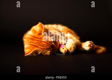 Jengibre mackerel tabby12 semana vieja gatito aislado en un fondo negro jugando con un ratón de juguete
