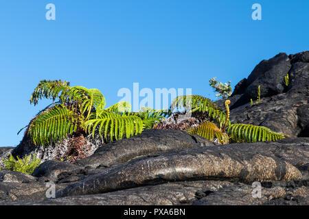 Par de helechos verde oscuro crecen fuera de lava pahoehoe. Blue Sky está en el fondo. Cerca de la cadena de cráteres Road en el Parque Nacional del Volcán, Hawaii. Foto de stock