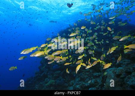 Cardumen de peces bajo el agua en la Gran Barrera de Coral de Australia Foto de stock