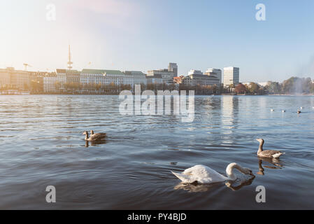 Cisnes y patos flotando en el lago Alster, en Hamburgo, Alemania.
