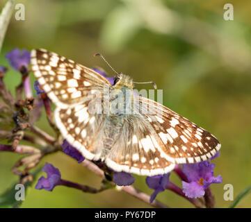 Hembra-patrón cuadriculado común mariposa sobre flores púrpura
