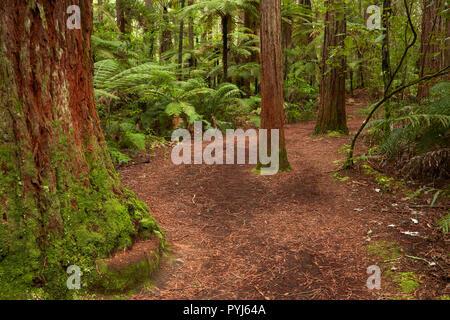 Una pista de caminata por el bosque de secuoyas (Whakarewarewa), Rotorua, Isla del Norte, Nueva Zelanda