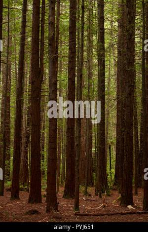 Redwood troncos de árbol, los Redwoods Whakarewarewa (Bosque), Rotorua, Isla del Norte, Nueva Zelanda