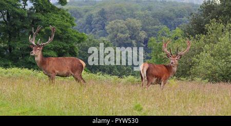 Ciervo ciervos en un parque inglés (Cervus elaphus)