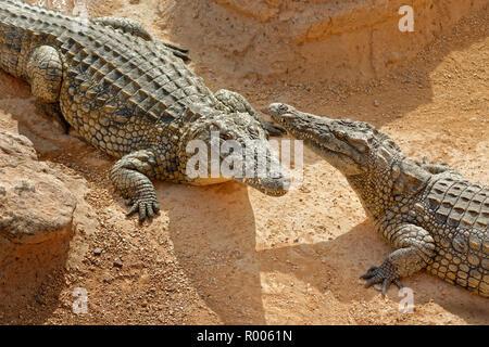 Los cocodrilos del Nilo en el Cocodrilo Park, Agadir, provincia de Souss-Massa, en Marruecos.